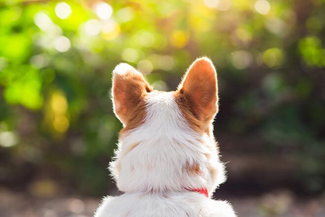 udito cane
