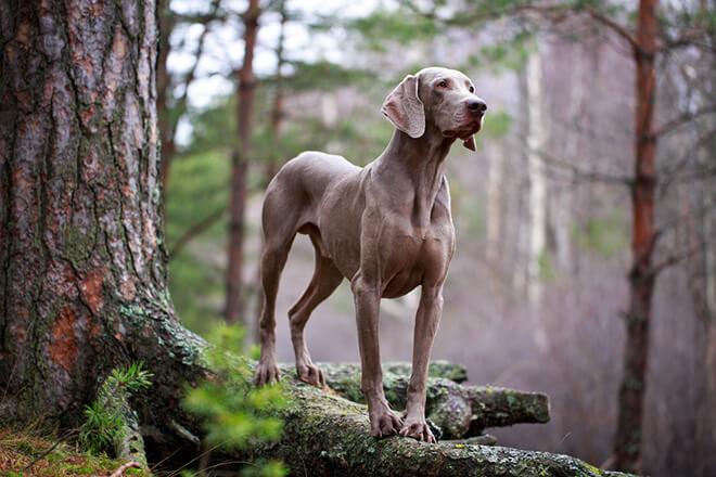 weimaraner nel bosco
