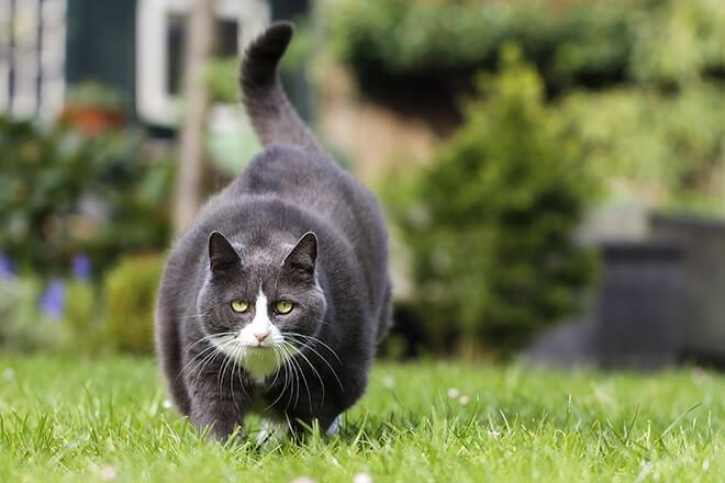 gatto obeso attività fisica