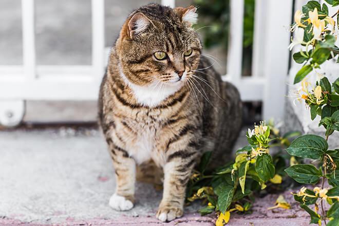 gatto obeso trattamento dietetico