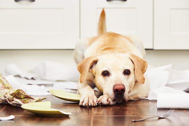 comportamento-cani-faccia-colpevole