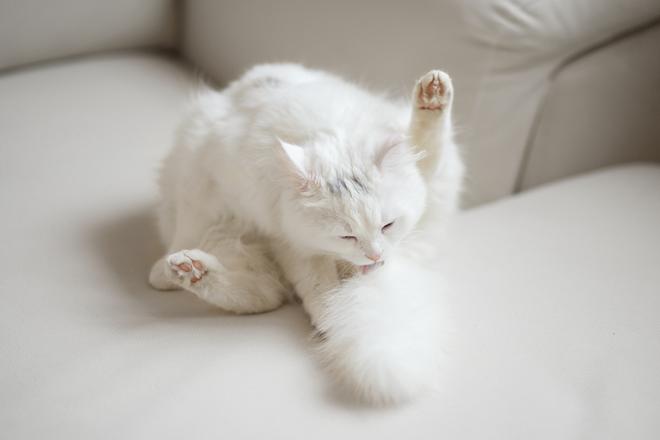 ciclo-riproduttivo-gatta