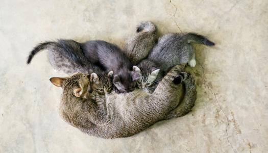 Il ciclo riproduttivo dei gatti