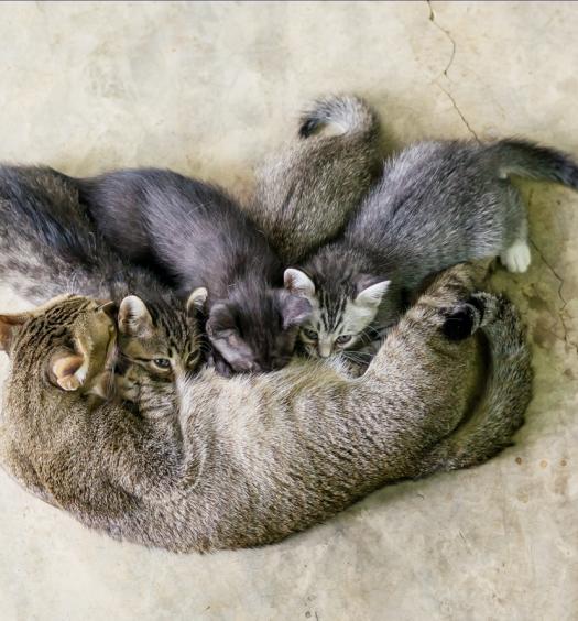 ciclo-riproduttivo-gatti