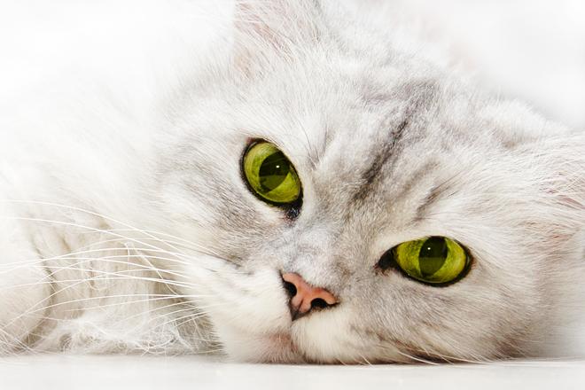 lacrimazione-gatto-persiano