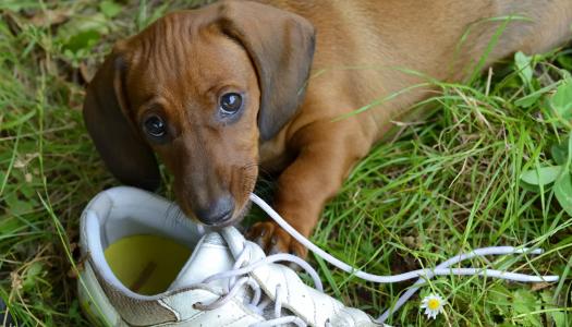 Comportamento dei cani: il cucciolo che morde tutto