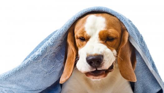 Dottore, il mio cane ha la tosse!