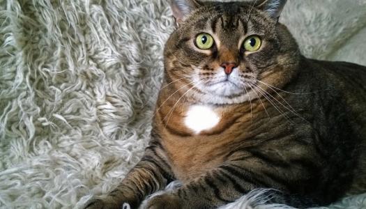 Il diabete mellito nel gatto