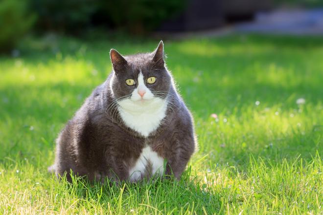 diabete mellito gatto fattori rischio